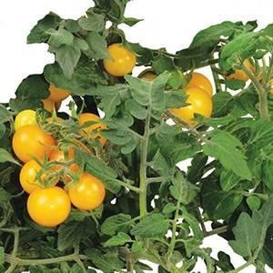 AeroGarden 7-Pod Golden Harvest Cherry Tomato Seed Kit - A Hydrofarm Exclusive!